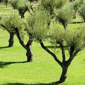 olive-tree-2
