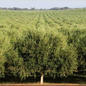 olive trees australia
