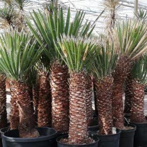 yucca_filifera_40_cm